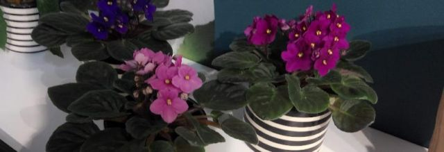 African violet whose scientific name is Saintpaulia ionantha, is a common flowering indoor plant native to Africa