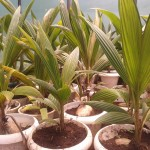 Stock plants of coconut TC work