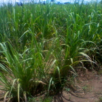 Properly managed sugarcane plantation