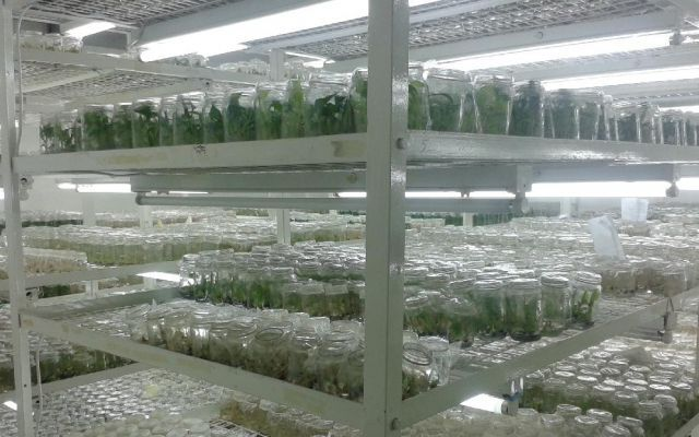 Tissue culture banana plantlets in the laboratory