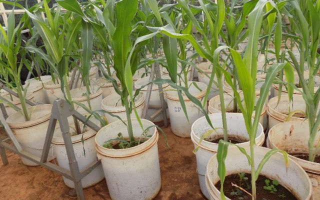 Tissue culture seedlings of local maize varieties