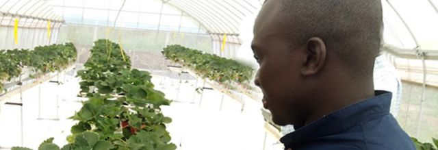 Student viewing a greenhouse of strawberry plants that are ready for harvesting