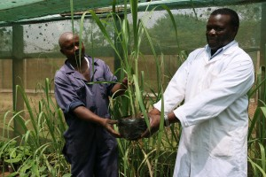 The researcher Wekesa (right) and the Greenhouse technician John Wainaina holding the in vitro regenerated sugarcane seedlings that are ready for transplanting